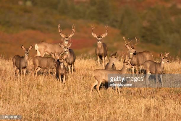 wild mule deer herd grazing sunrise field roxburough state park colorado - milehightraveler stock pictures, royalty-free photos & images