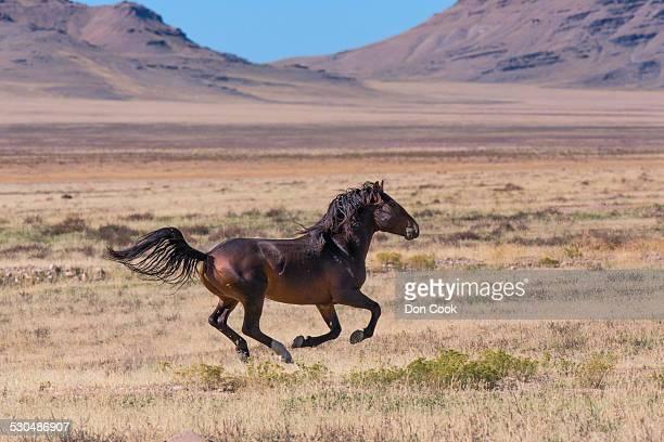Wild Mustang Horse In The West Desert Of Utah