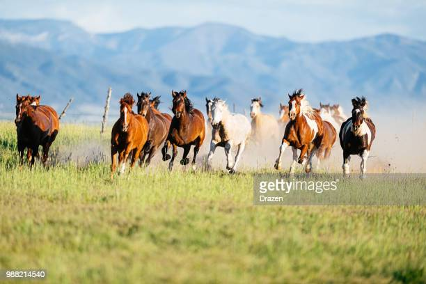 wild mustang horses galloping in nature - animals in the wild stock pictures, royalty-free photos & images