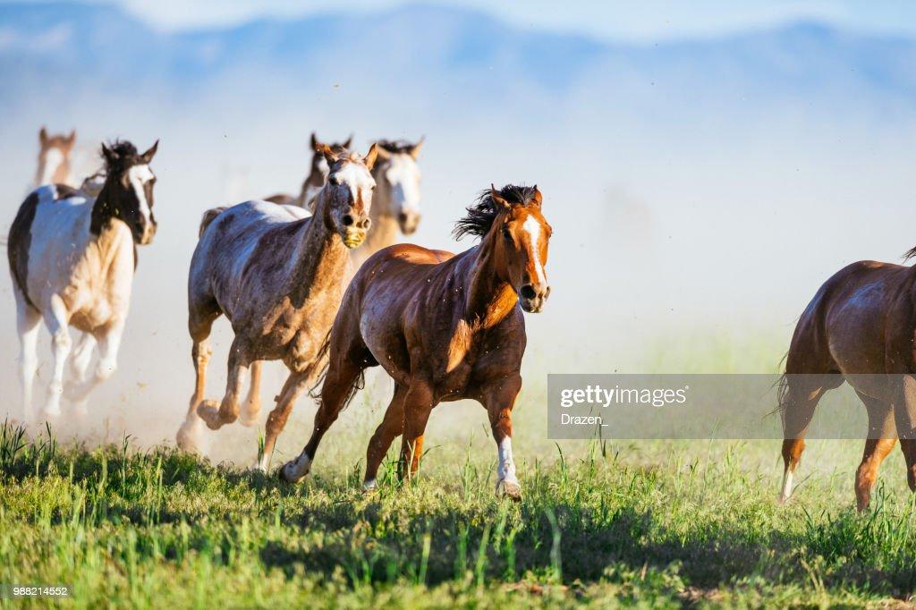 Wilder Mustang Pferde galoppieren im Westen der USA : Stock-Foto