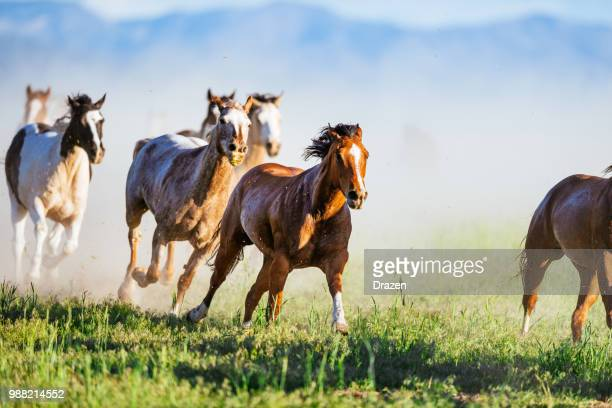 wild mustang horses galloping in western usa - animals in the wild stock pictures, royalty-free photos & images