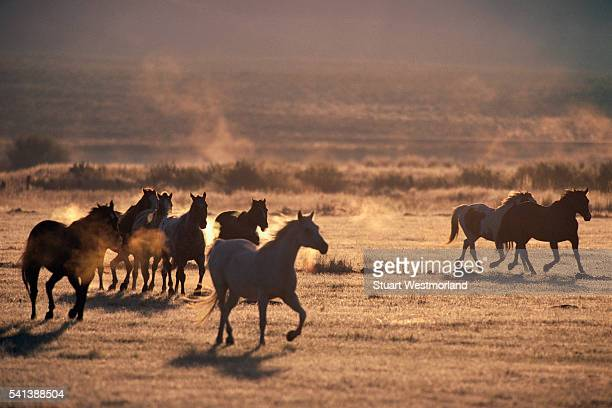 Wild Mustangs in a Field