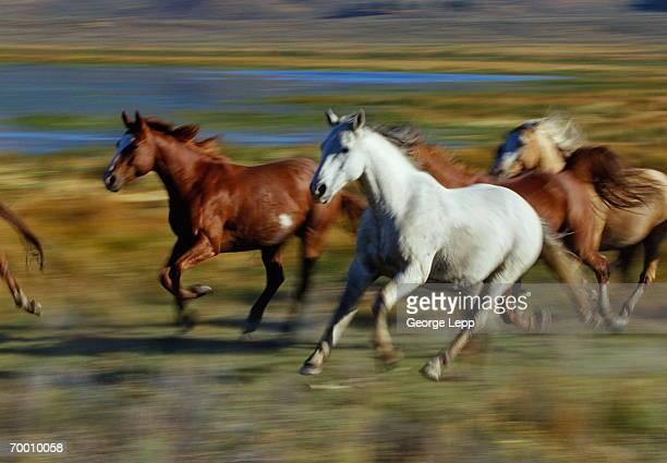 Wild mustangs (Equus caballus) running, USA (blurred motion)