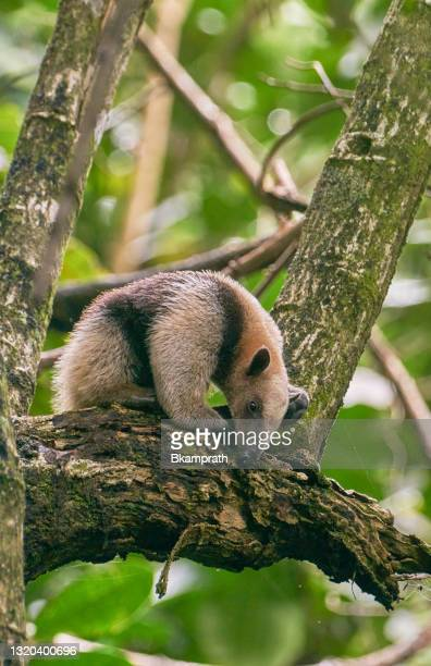 コスタリカの太平洋岸のマヌエル・アントニオ国立公園の野生北タマンドゥア・アンテアター - コアリクイ ストックフォトと画像