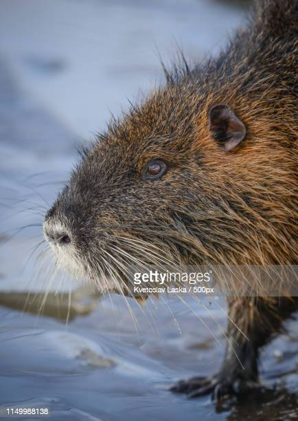 wild nutria in prague - nutria foto e immagini stock
