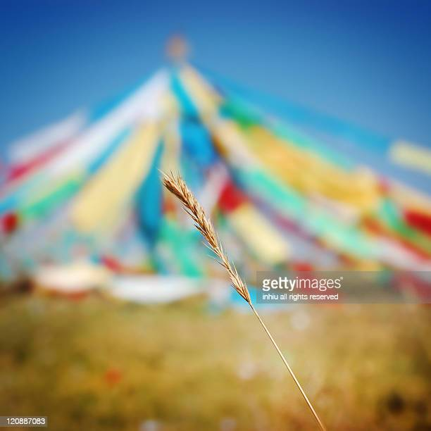 Wild oat with colorful Tibetan tent, Qinghai China