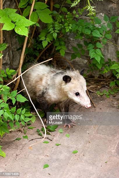 Wild opossum standing in a corner near green leaves.