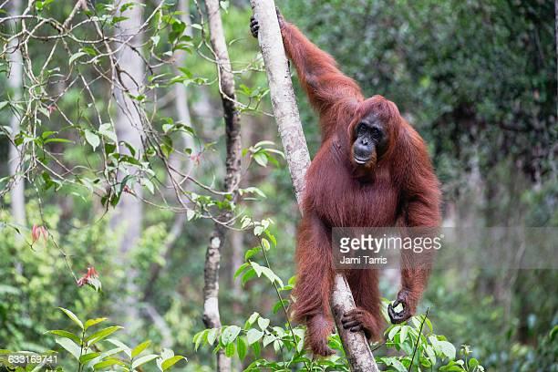 a wild orangutan hanging from a tree - orangutan stock pictures, royalty-free photos & images