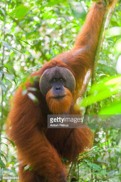 Wild Orangutan in Bukit Lawang National Park, Sumatra in Indonesia