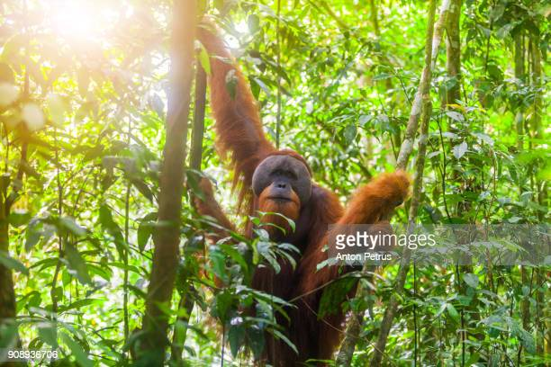 Wild Orangutan in Bukit Lawang National Park, Sumatra in Indonesia