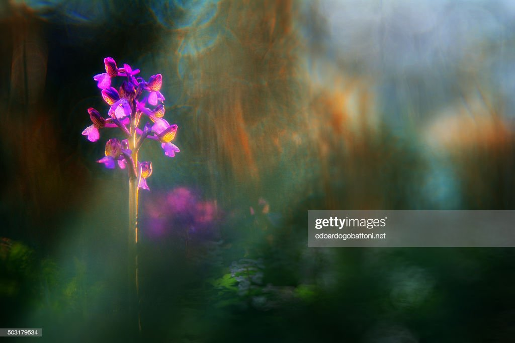 wild orchid 1 : Stock-Foto