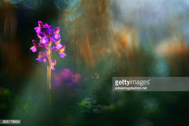 wild orchid 1