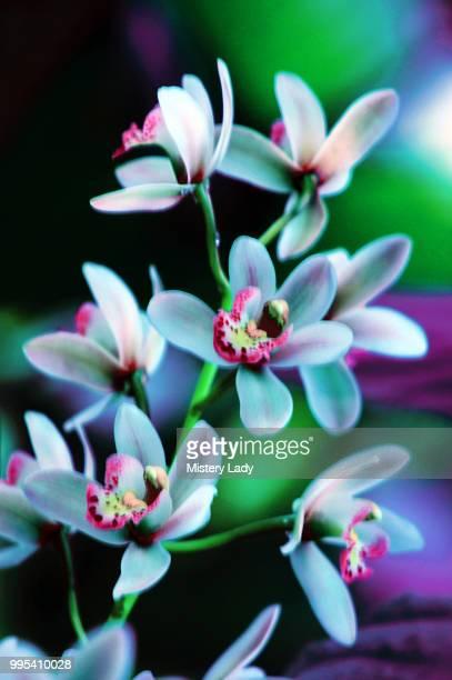 wild orchid - mistery foto e immagini stock