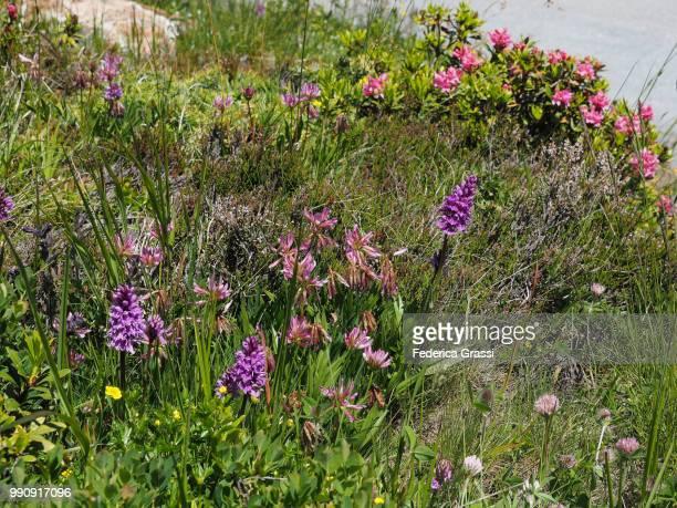 Wild Orchids Dactylorhiza sambucina at Simplon Pass