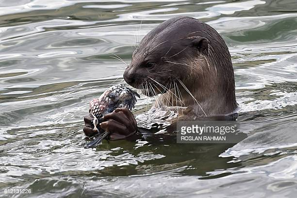 A wild otter feeds on fish at Marina bay reservoir in Singapore on October 3 2016 Smoothcoated otters are commonly spotted in reservoirs and some...