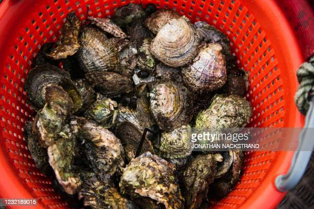 Wild oysters are seen in a bucket after Lotta Klemming, a professional oyster diver, collected them in the waters near her familys company in...