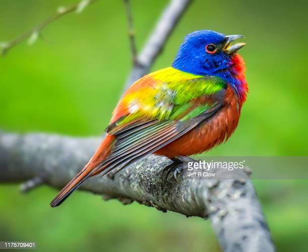 wild painted bunting in texas - songbird stock pictures, royalty-free photos & images