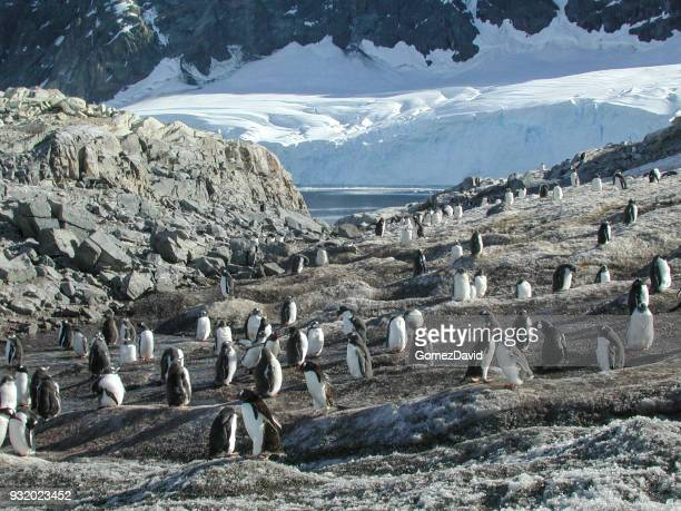 Wild Penguin Rookery on Shore