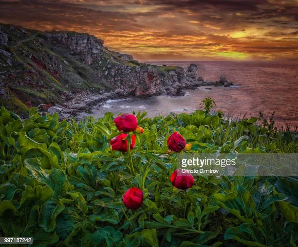 Wild Peonies by the sea