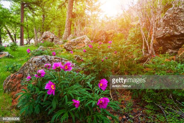 Wild peonies in the forest at sunset