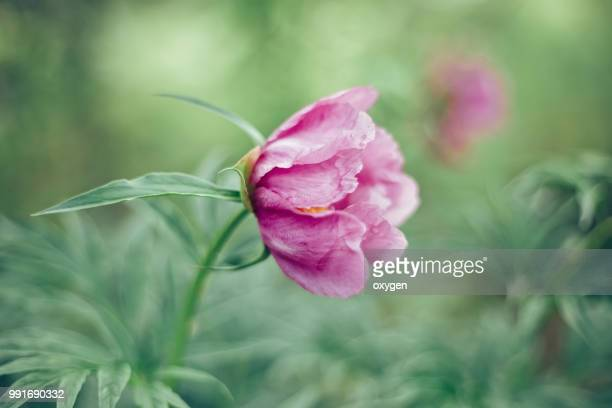 Wild Peony Flower on the forest