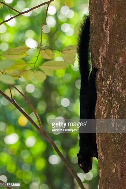 Wild Pevost's Squirrel at Lok Kawi Wildlife Park.