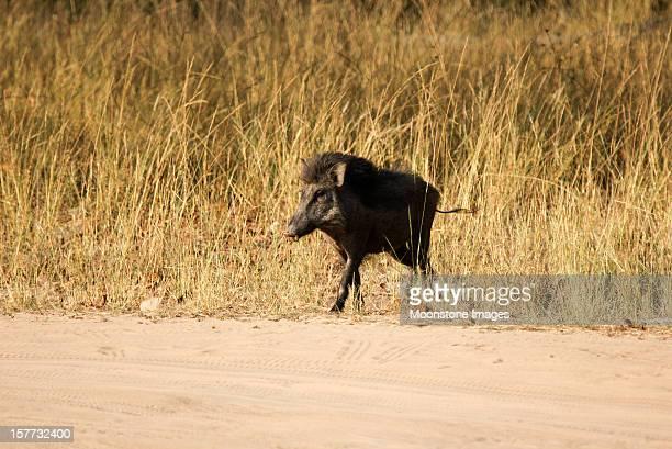 wild pig in bandhavgarh np, india - bandhavgarh national park stock pictures, royalty-free photos & images