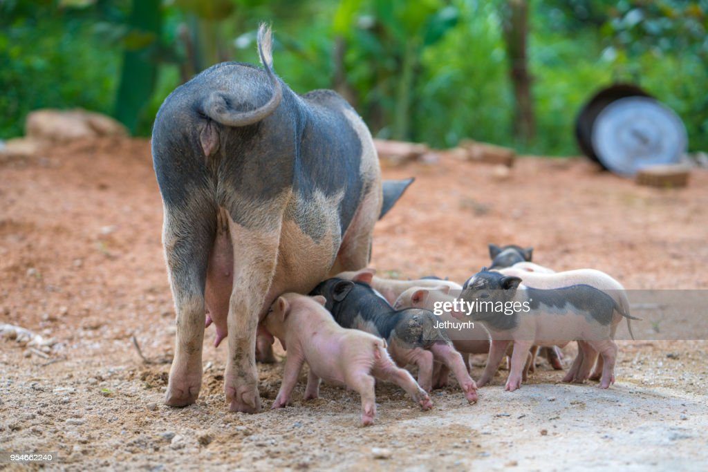 Wild Pig Mother And Her Baby Pigs Stock Photo