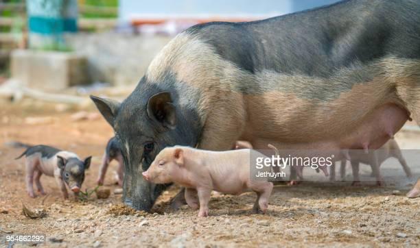 写真 of baby pigs ストックフォトと画像 getty images