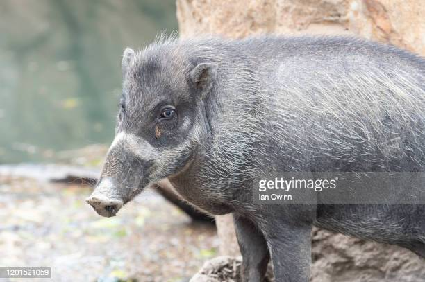 wild pig - ian gwinn stock pictures, royalty-free photos & images