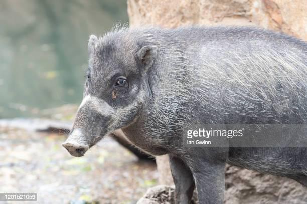 wild pig - ian gwinn photos et images de collection