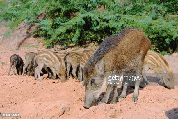 Wild pig sus scrofa cristatus with its kid, India