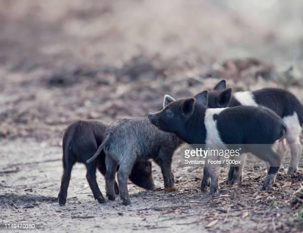 wild piglets in florida wetlands - svetlana stock photos and pictures