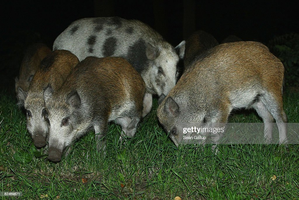 Wild Pigs A Growing Problem In Berlin : News Photo