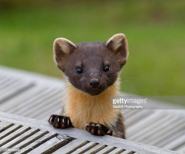 wild pine marten in scotland - pine marten stock pictures, royalty-free photos & images