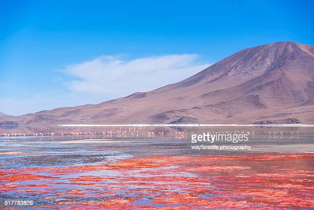 Wild pink flamingo in red lagoon and blue sky