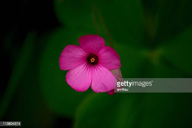 wild pink flower - annfrau stock photos and pictures