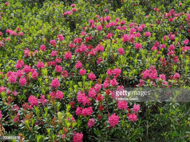 Wild Pink Rhododendrons In Full Bloom, Lake Maggiore, Northern Italy