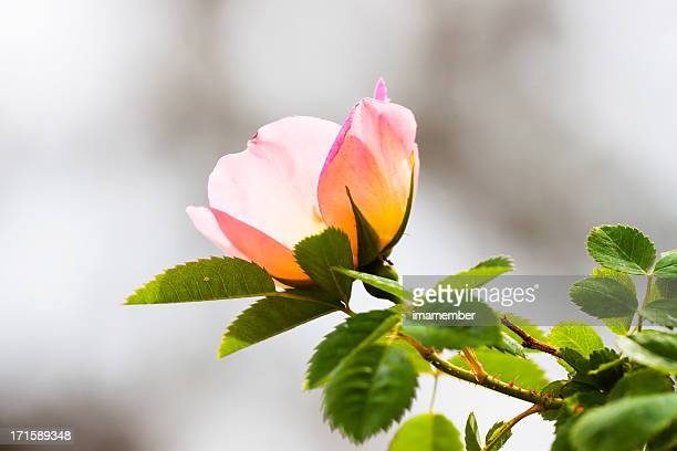 wild pink rose against grey background, copy space - dog rose stock photos and pictures