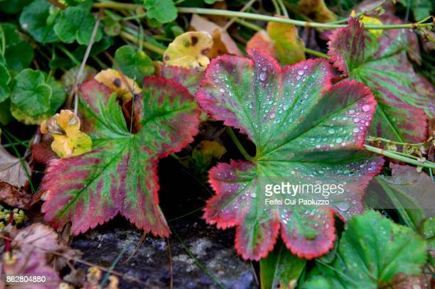 wild plant at dynjandi, westfjords, iceland - westfjords iceland stock photos and pictures