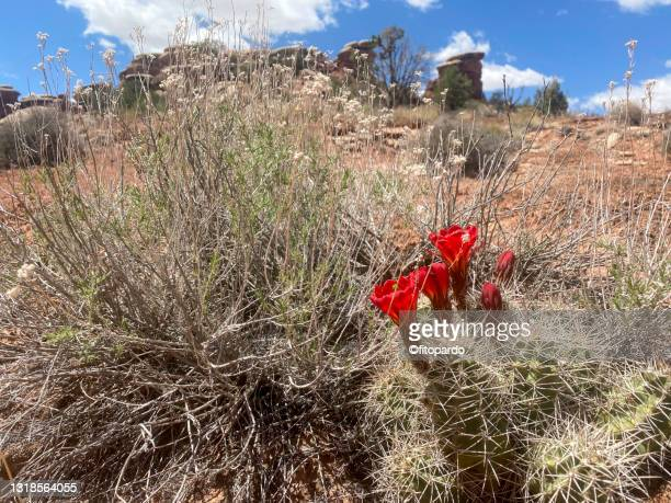 wild plants a cactus with blooming flowers and some wild desert plants in canyonlands national park - fitopardo stock pictures, royalty-free photos & images