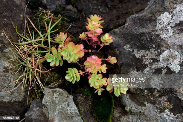 wild plants on the rock at dalatangi, east fjord of iceland - austurland stock pictures, royalty-free photos & images