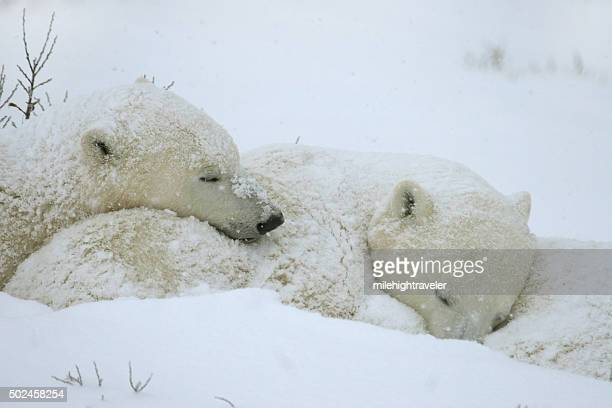 Wild polar bear cubs sleep in storm Hudson Bay Manitoba