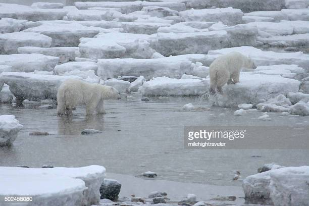 wild polar bear pair walk broken ice hudson bay manitoba - hudson bay stock photos and pictures