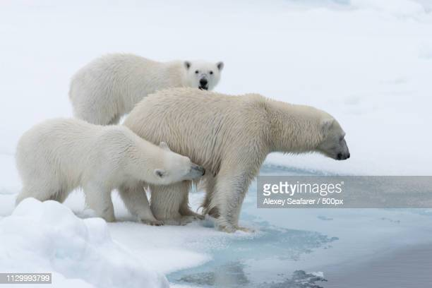 wild polar bears mother and twin cubs on ice - poolklimaat stockfoto's en -beelden