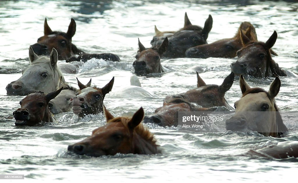 Assateague Wild Ponies Swim To Chincoteague Island In Annual Rite : News Photo
