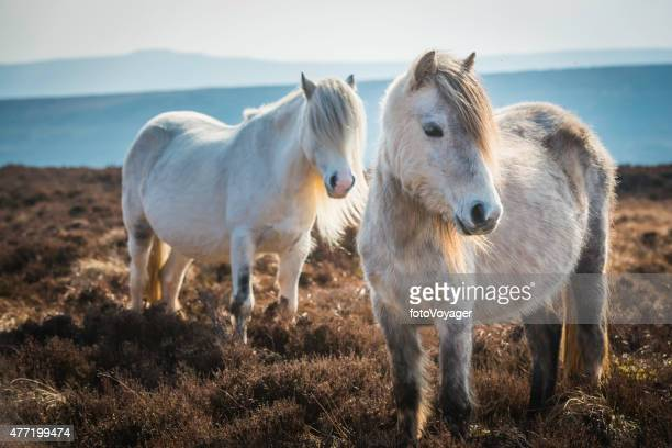 Wild ponies on heathery mountain moorland Brecon Beacons National Park