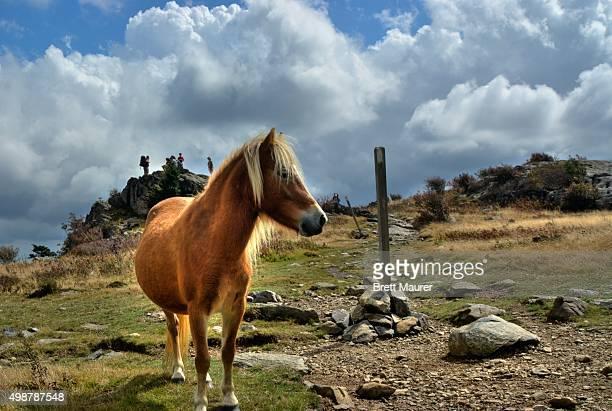 Wild pony and hikers along the Appalachian Trail, Grayson Highlands, Virginia USA