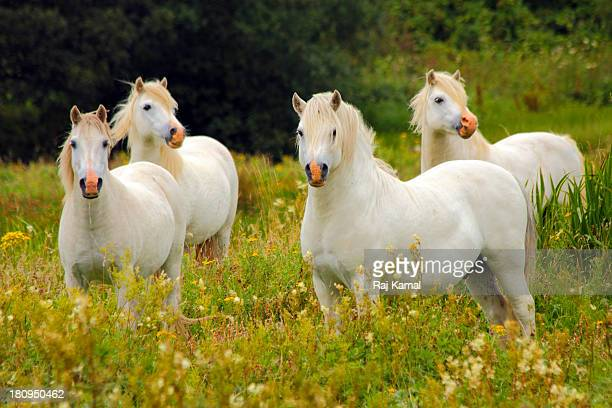 Wild Pony Herd on Llanddwyn Island. Anglesey.