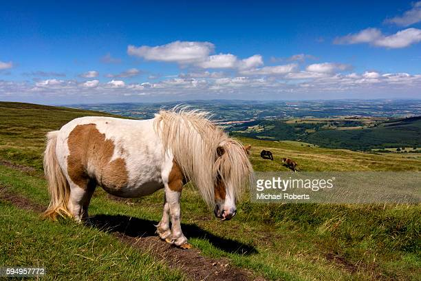 Wild pony in the Black Mountains, Brecon Beacons national park, Wales